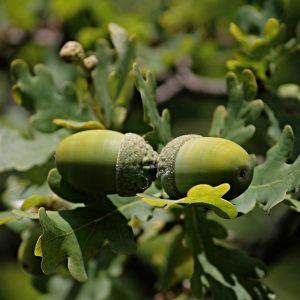 photo of acorns